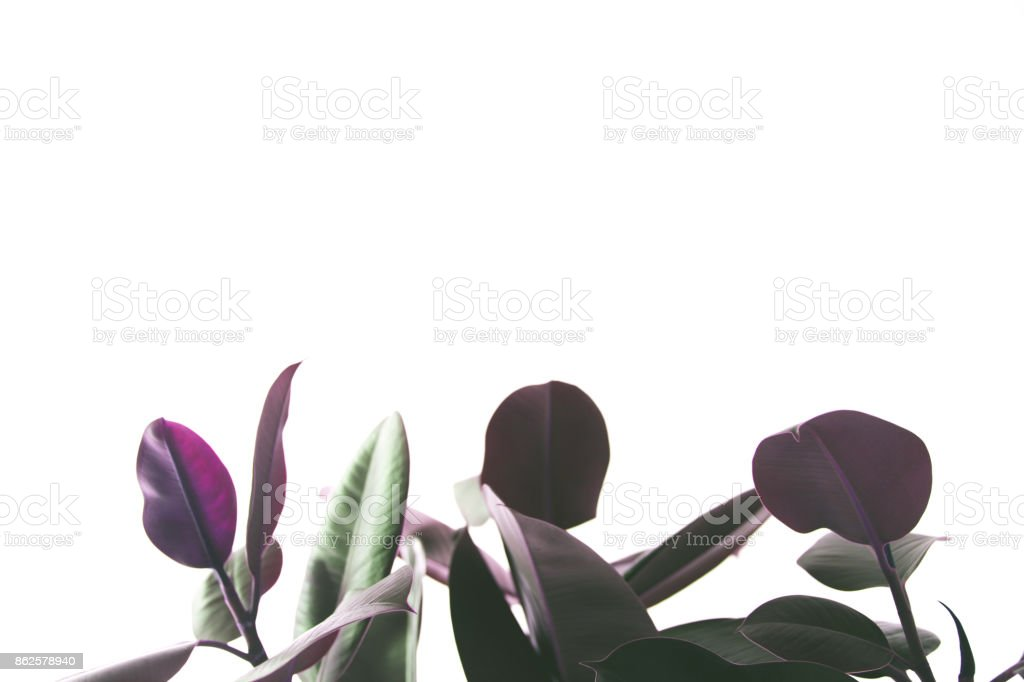 background with ficus plant stock photo
