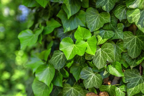 bakgrund med grön murgröna som täcker väggen - murgröna bildbanksfoton och bilder