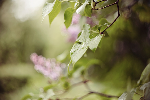 Background with indistinct branches of a lilac with flowers