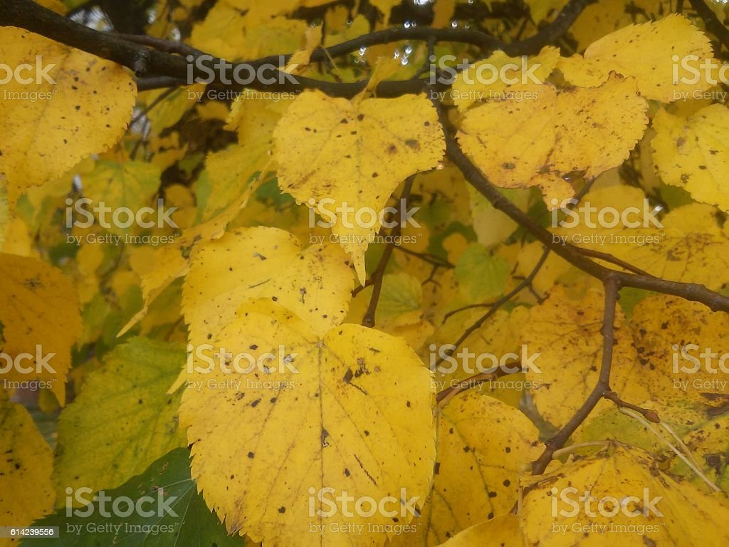 Background with leaves of lime-tree stock photo