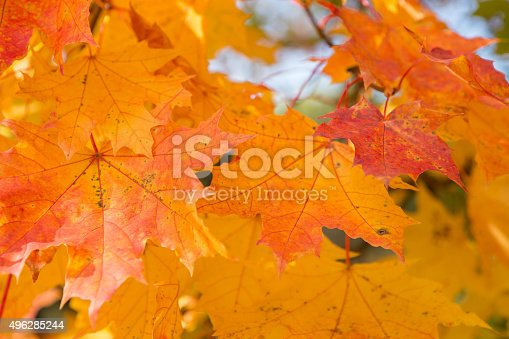 470927602 istock photo Background with maple leaves 496285244