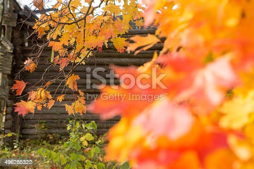 470927602 istock photo Background with maple leaves 496285322
