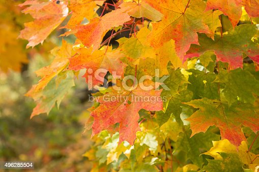 istock Background with maple leaves 496285504