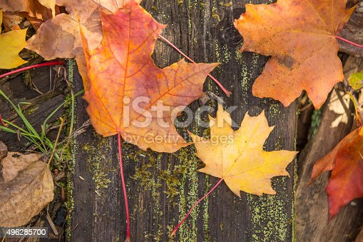 istock Background with maple leaves 496285700