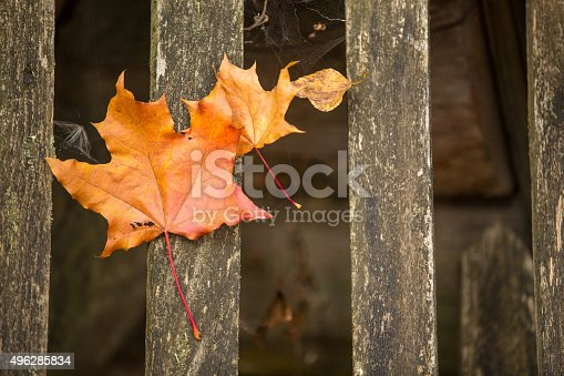 470927602 istock photo Background with maple leaves 496285834