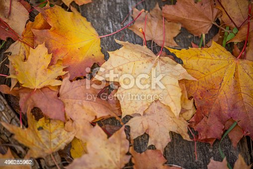 470927602 istock photo Background with maple leaves 496285962