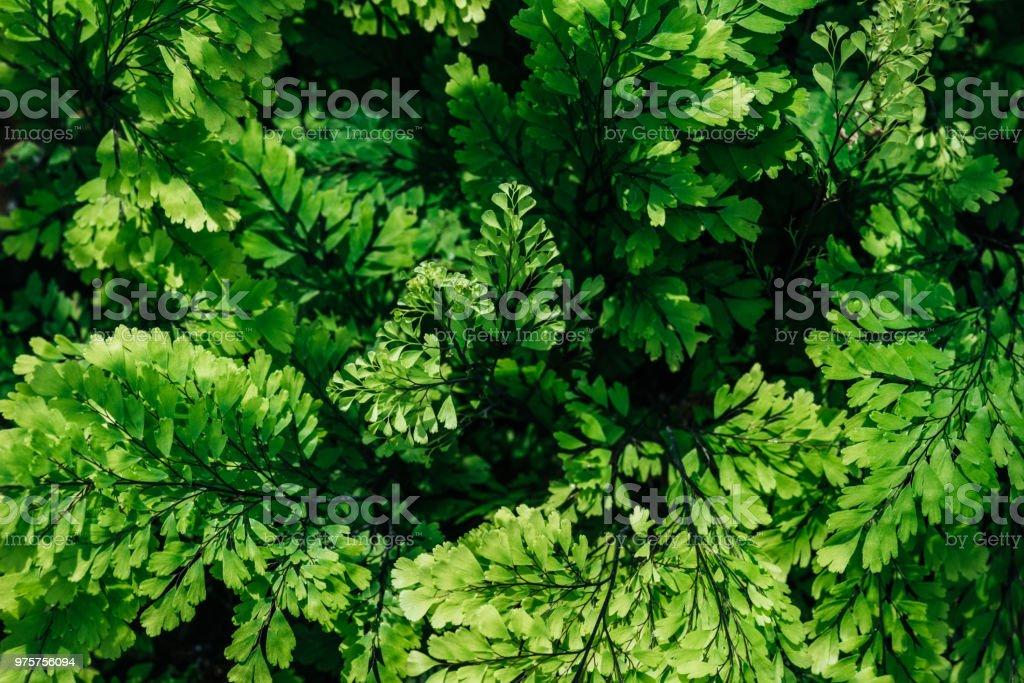 Hintergrund mit natürlichen grünen Blättern auf Zimmerpflanze - Lizenzfrei Botanik Stock-Foto