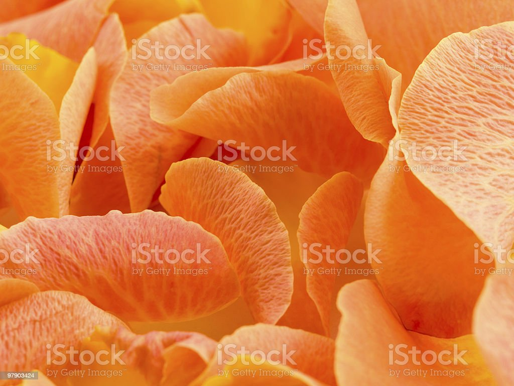 Background with petal of rose royalty-free stock photo