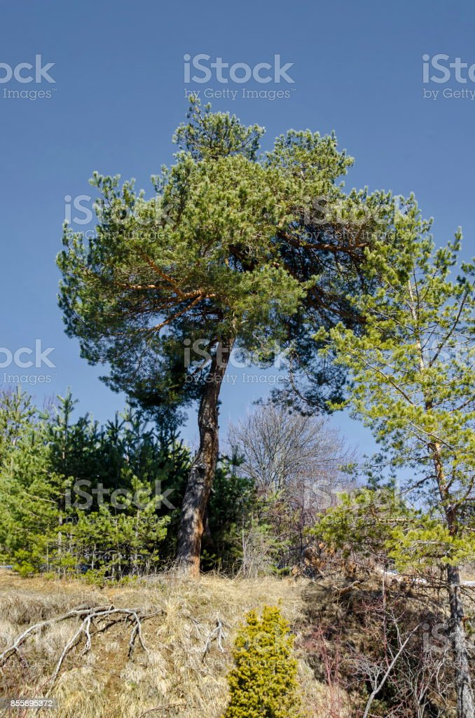 Background with pine tree and pine forest on mountainside, Vitosha mountain stock photo