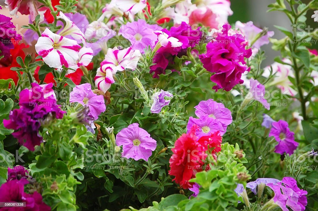 Background with pink flowers Petunia closeup royalty-free stock photo