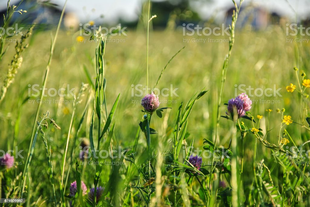 A background with selected focus, a field with green grass and some flowers of clover, Kyiv, Ukraine. royalty-free stock photo