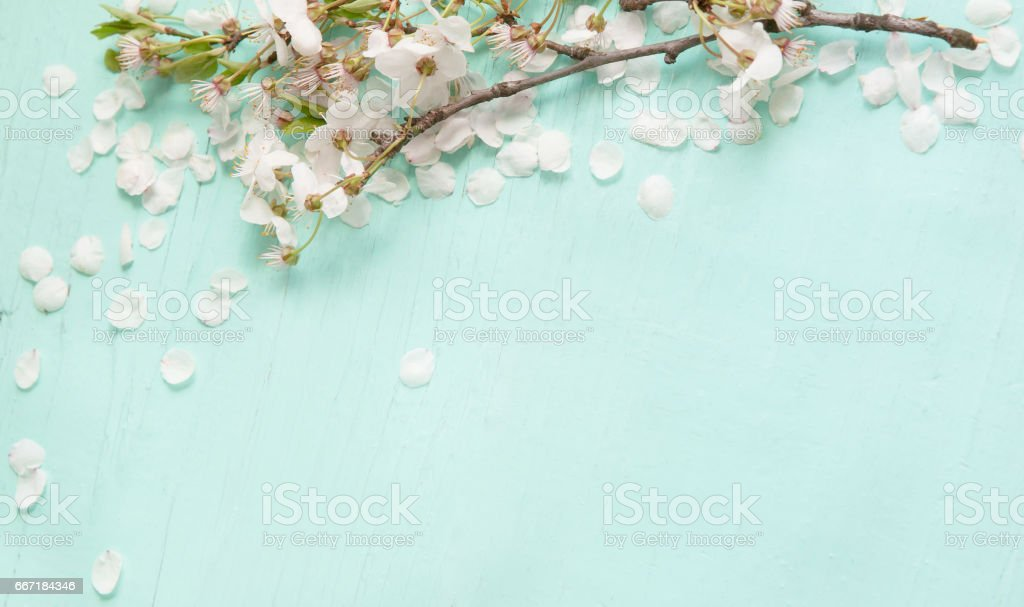 Background With white cherry blossoms stock photo