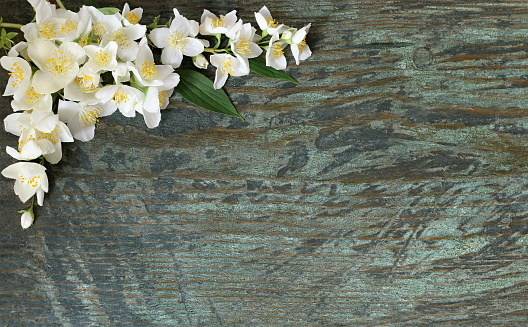 Background with white jasmine flowers on wooden plank. Philadelphus flowers.