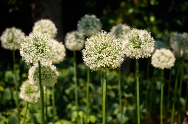 Achtergrond met witte ui bloemen (Allium jesdianum). foto