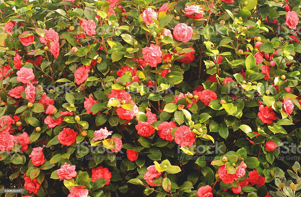 Background witn camellias wall stock photo