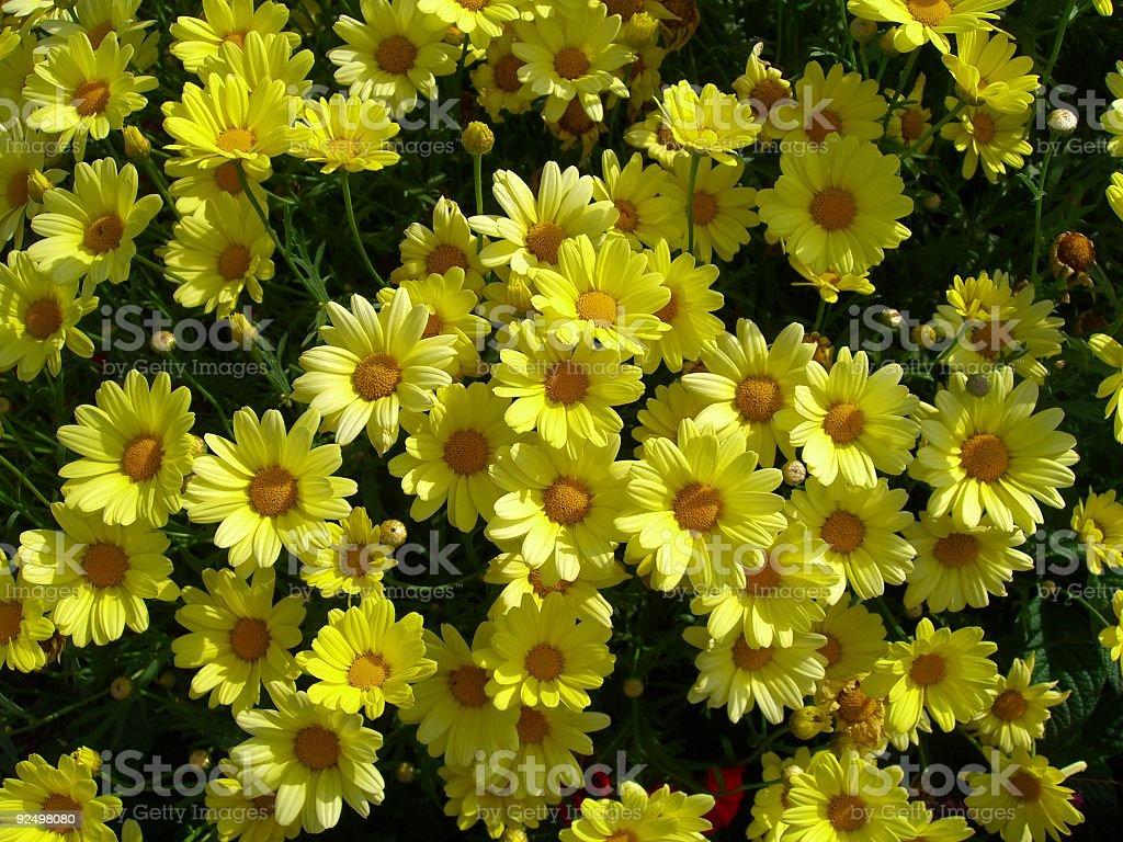 Background: Yellow Daisies royalty-free stock photo