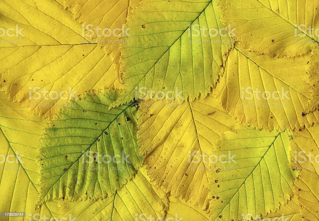 Backgrounds - Autumn Leaves of an Elm Tree royalty-free stock photo