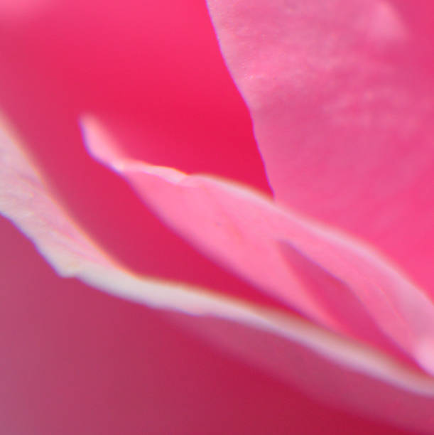 Backgrounds of fragile rose close up stock photo