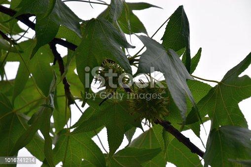Liquidambar styraciflua in summer with ripe and unripe seeds