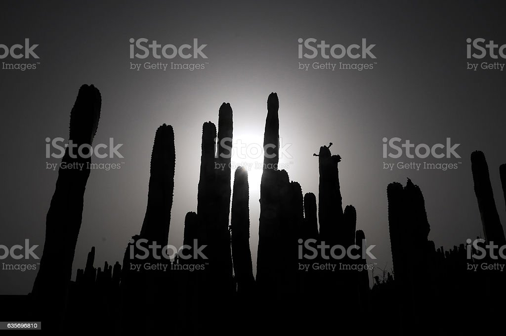 Backlight Silouhetted Cactus royalty-free stock photo