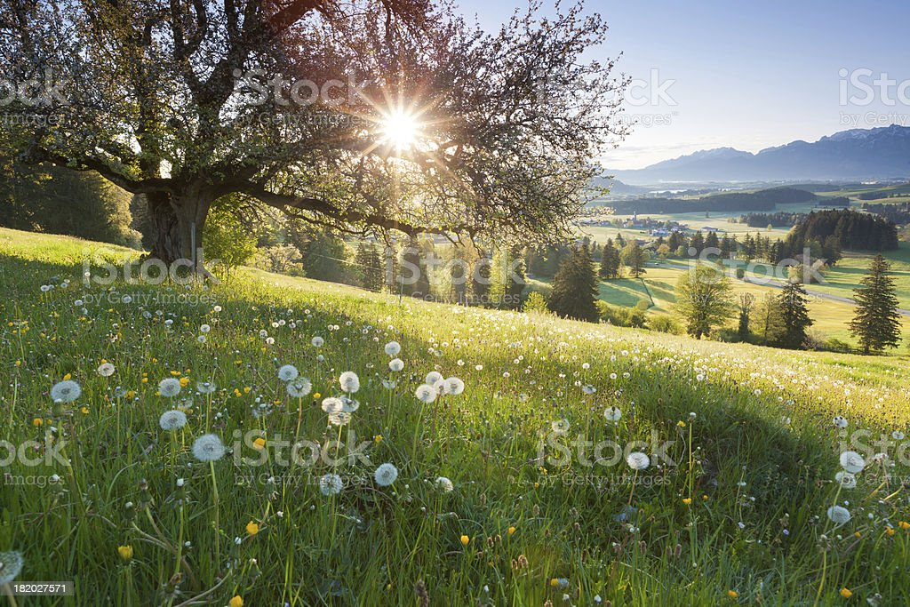 backlight view through apple tree, summer meadow in bavaria, germany stock photo