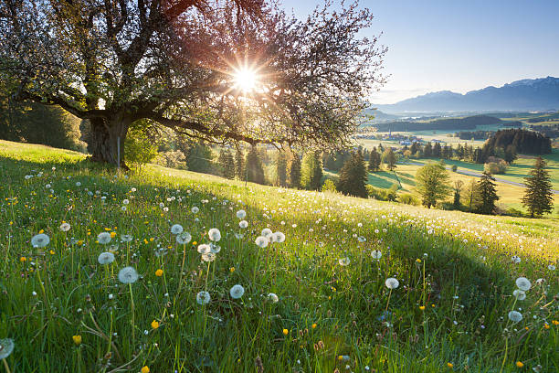 backlight view through apple tree, summer meadow in bavaria, germany - meadow stock pictures, royalty-free photos & images