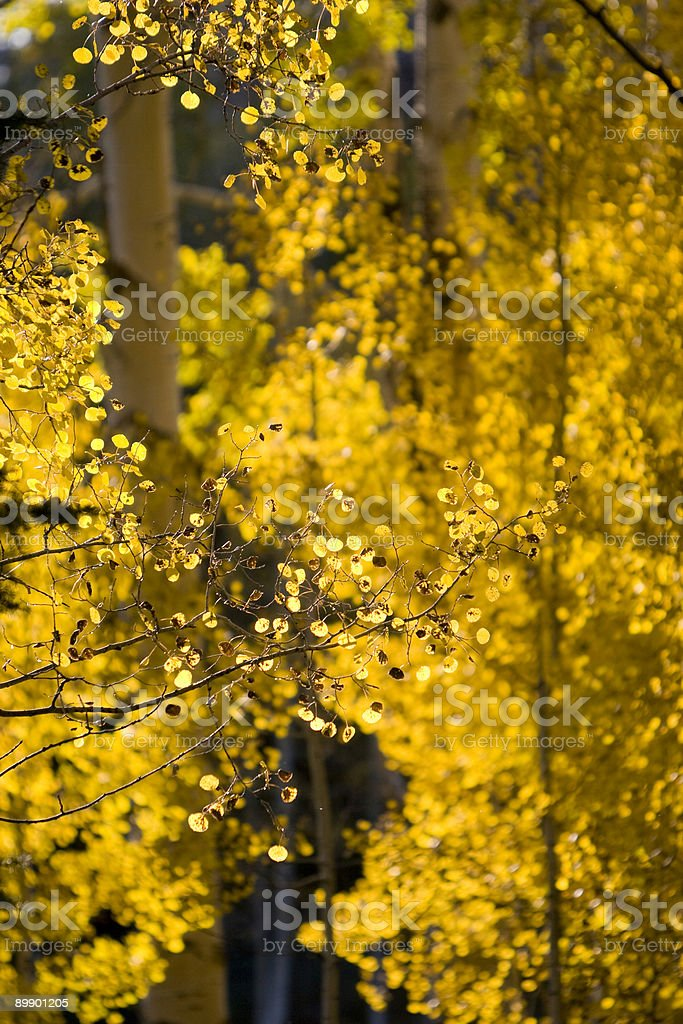 Подсветка Аспен листья Стоковые фото Стоковая фотография