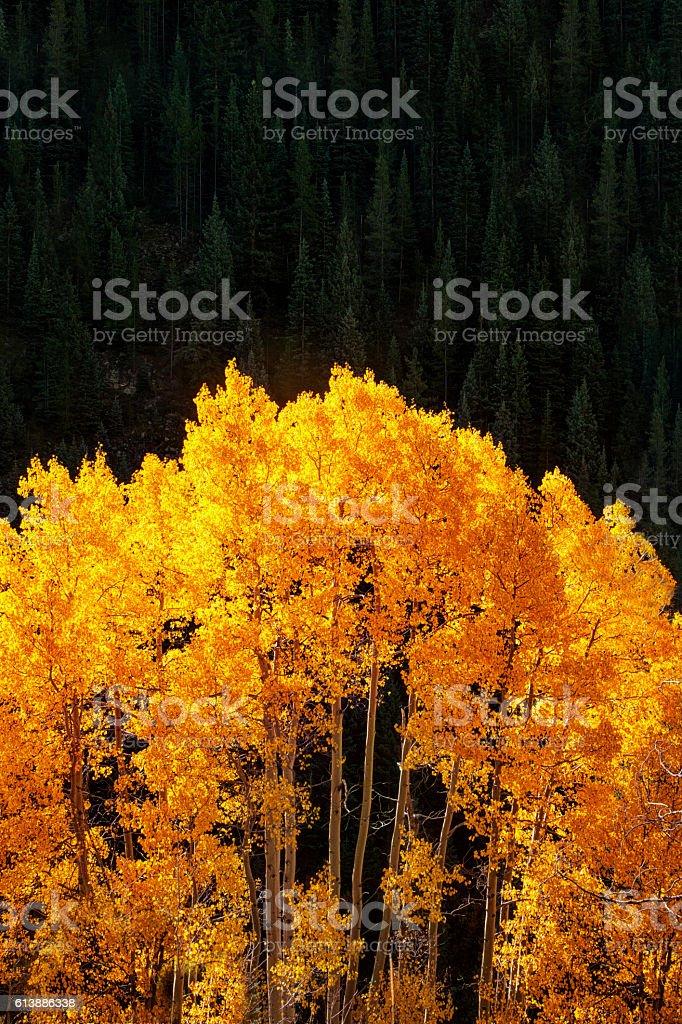Back-lit Aspens at Autumn stock photo