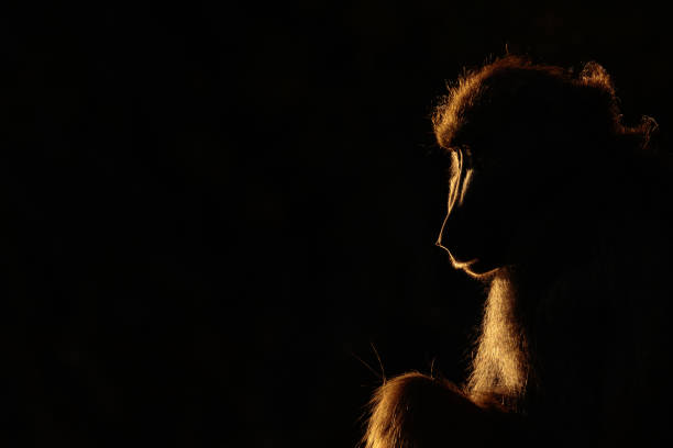 Backlit Baboon on the banks of the Chobe River, Botswana, Africa stock photo