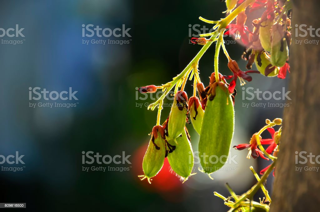 Backlit Bilimbi stock photo