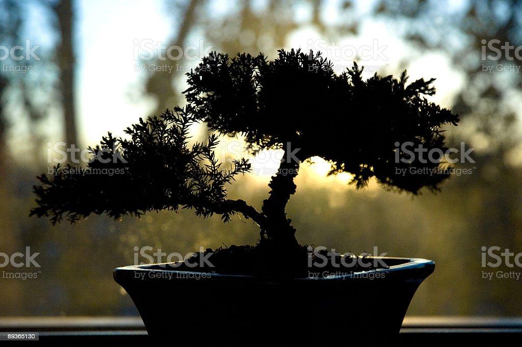 Bonsai retroilluminata foto stock royalty-free