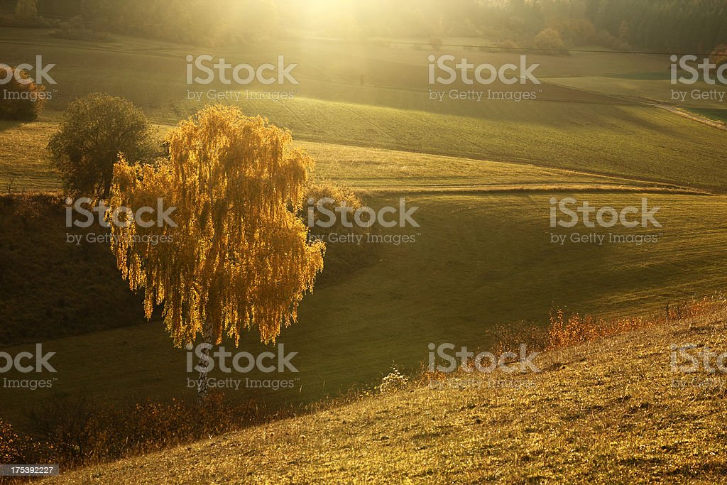 Backlit burch tree in fall stock photo