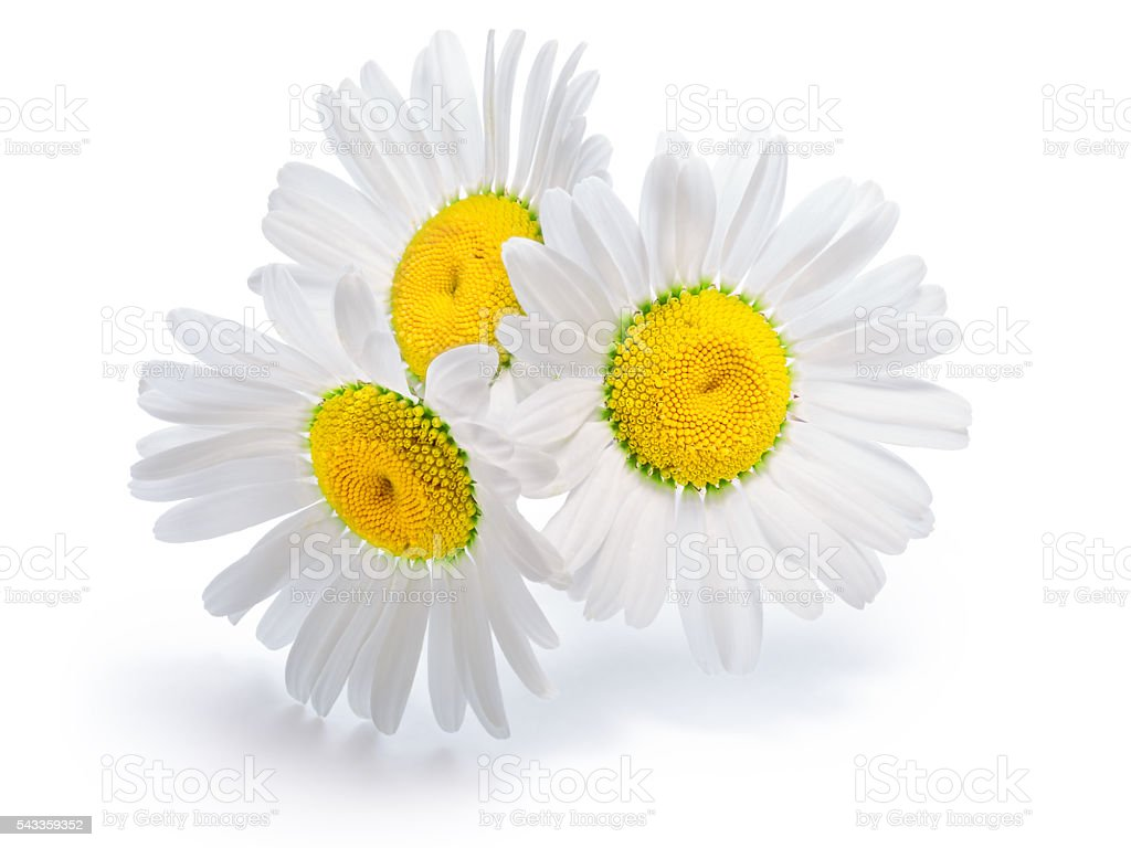 Backlit chamomile flowers stock photo