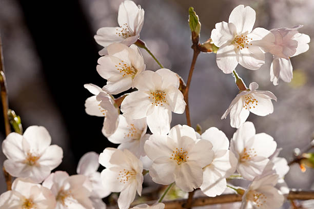 Back-lit Cherry Blossoms stock photo