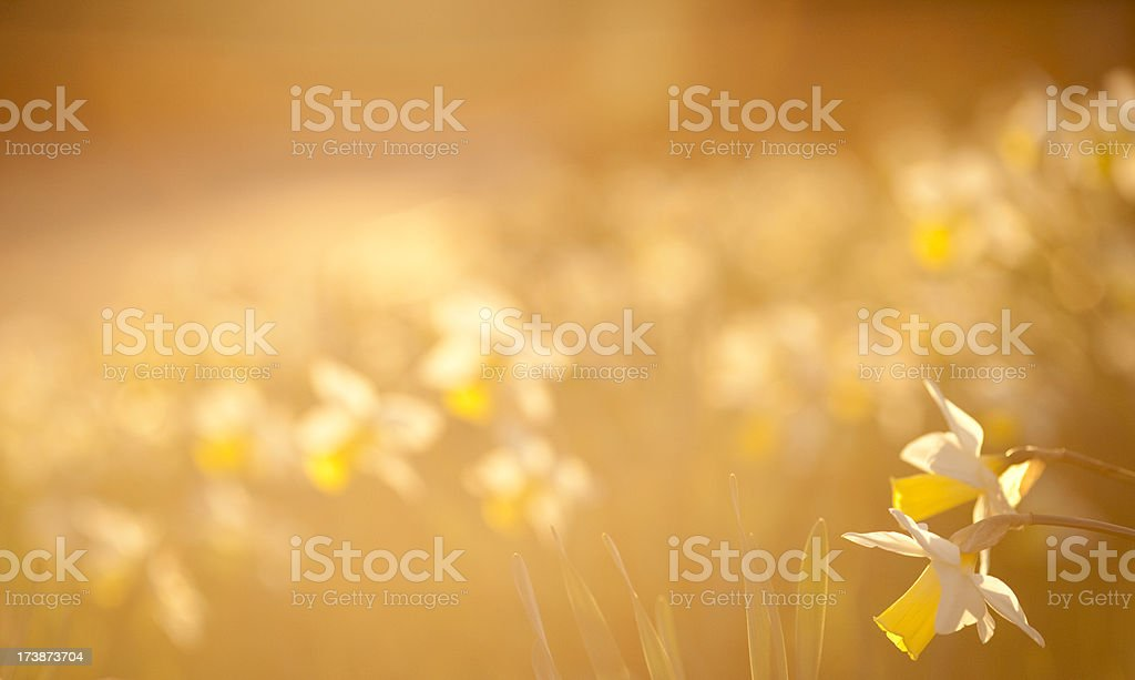 Backlit daffodils royalty-free stock photo