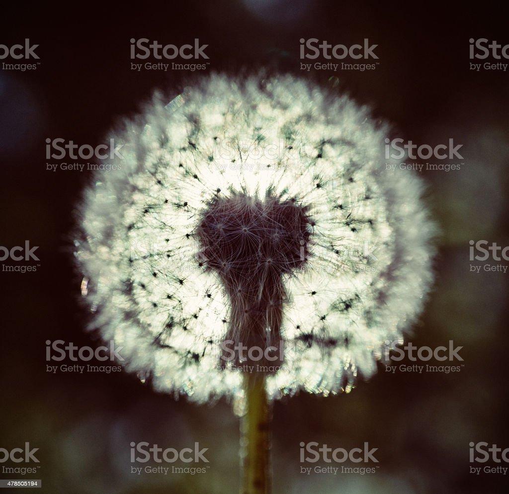 Backlit Dandelion stock photo
