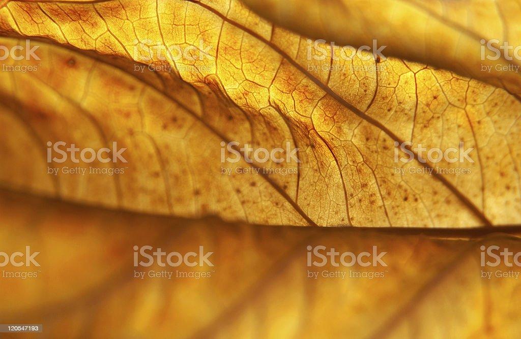 Backlit Dead Hydrangea Leaf Macro in November, Pennsylvania stock photo