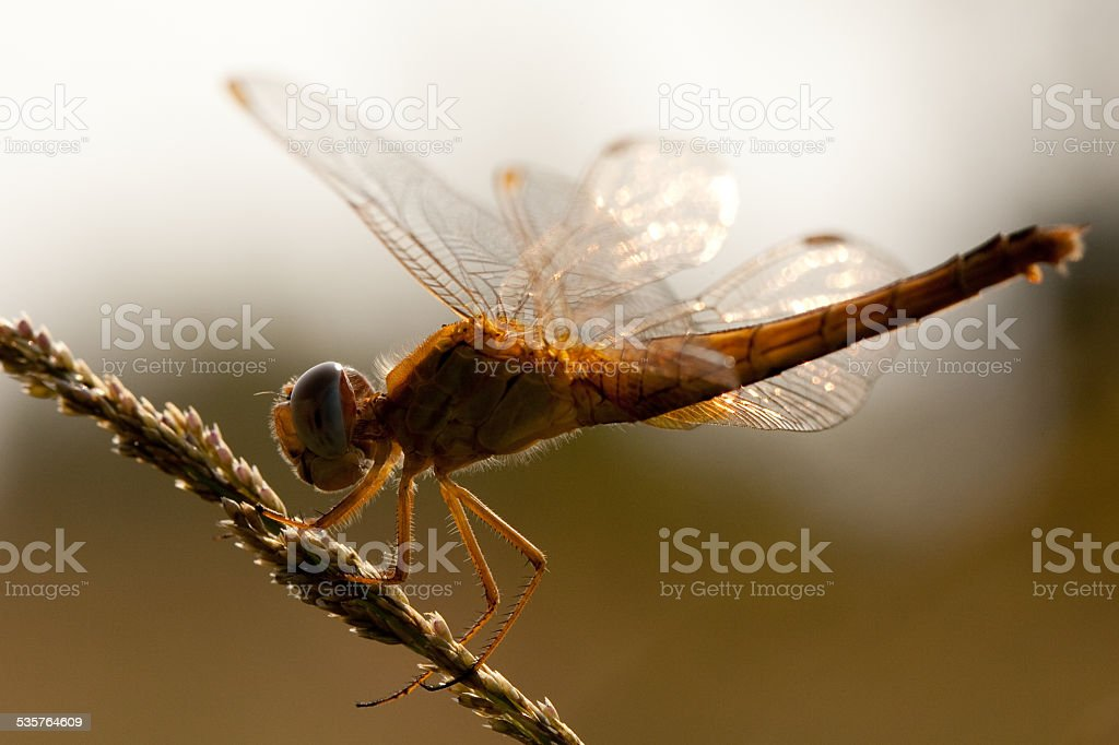 Backlit Dragonfly stock photo