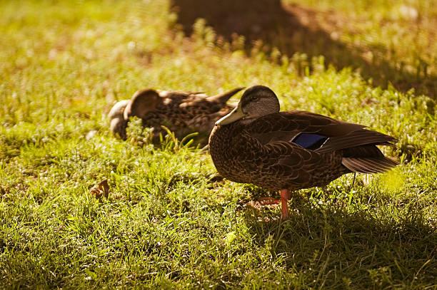 Backlit Ducks stock photo