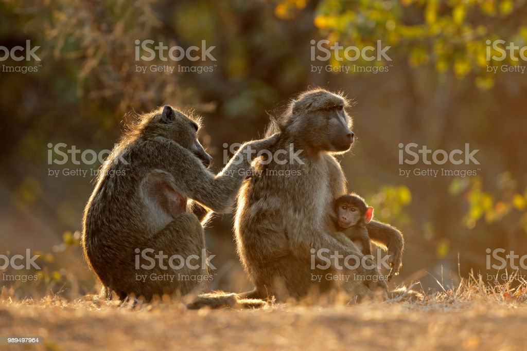 Backlit family of chacma baboons stock photo