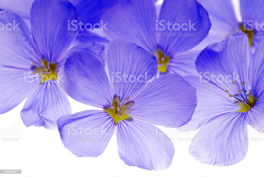 Backlit flax flowers royalty-free stock photo