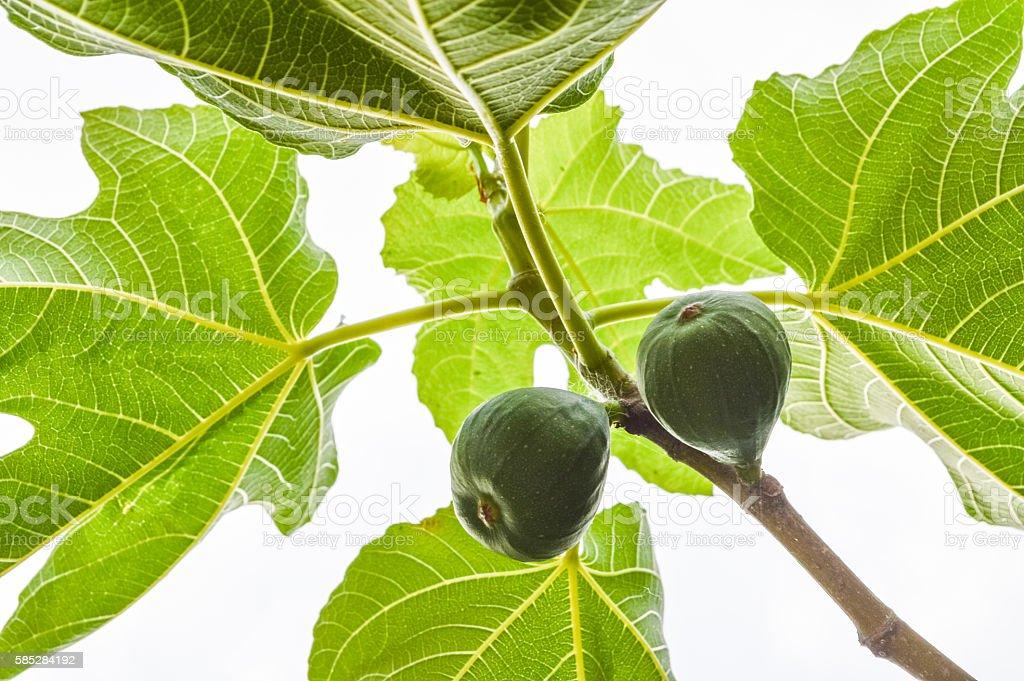 backlit fresh fig fruits on twig stock photo
