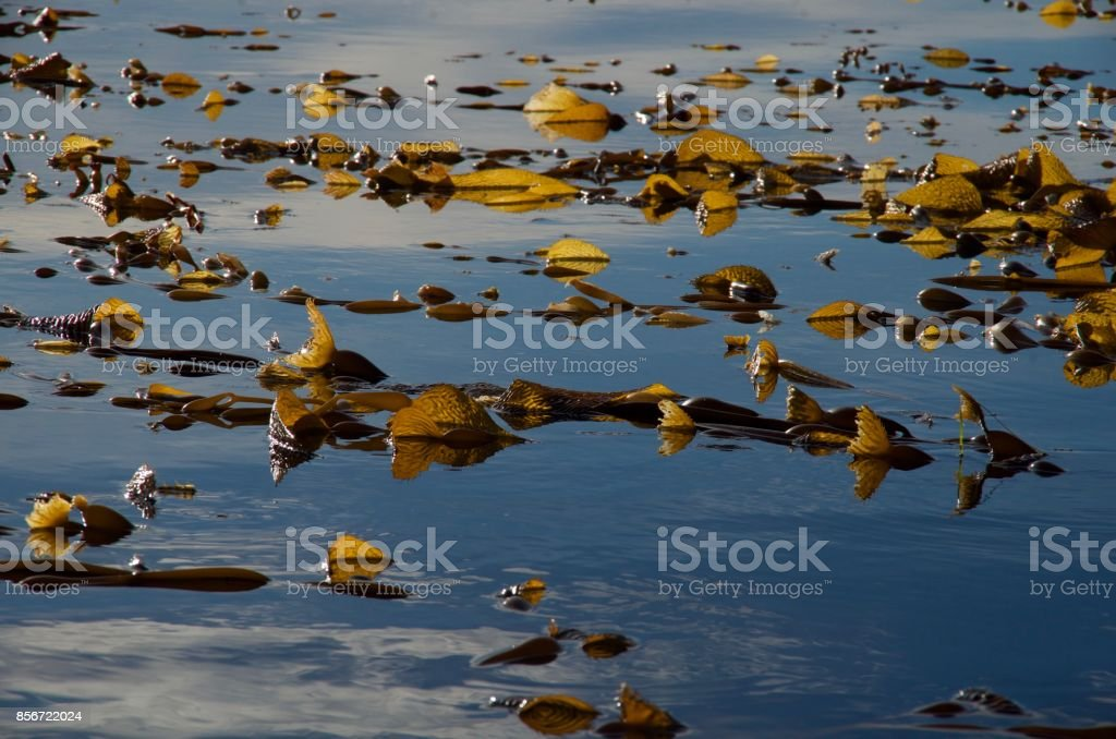 Backlit giant kelp on a calm blue sea stock photo