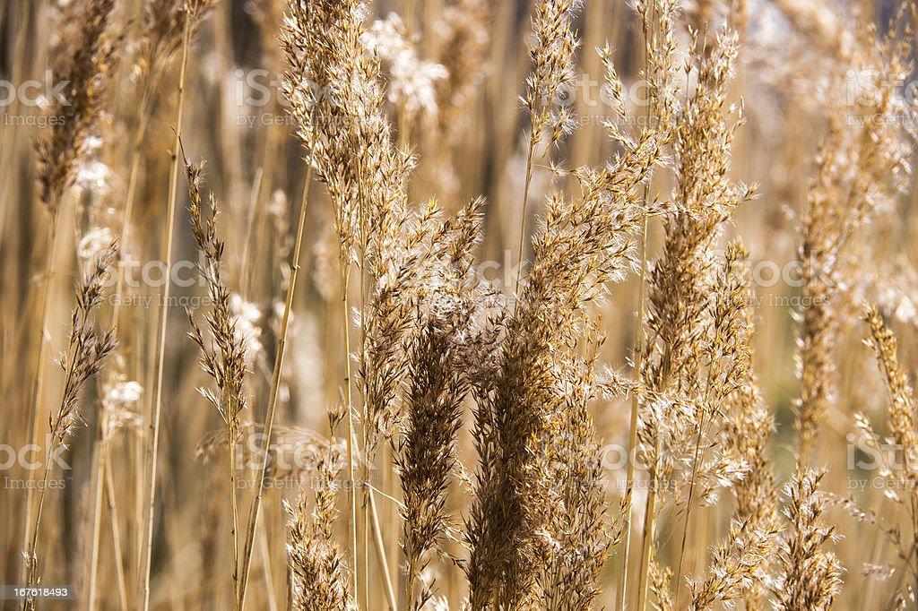 Backlit Golden Grass royalty-free stock photo