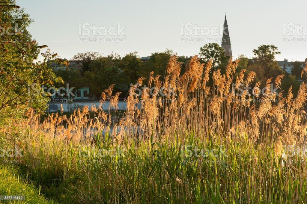 Backlit golden reed near river Danube (Alte Donau) in Vienna stock photo