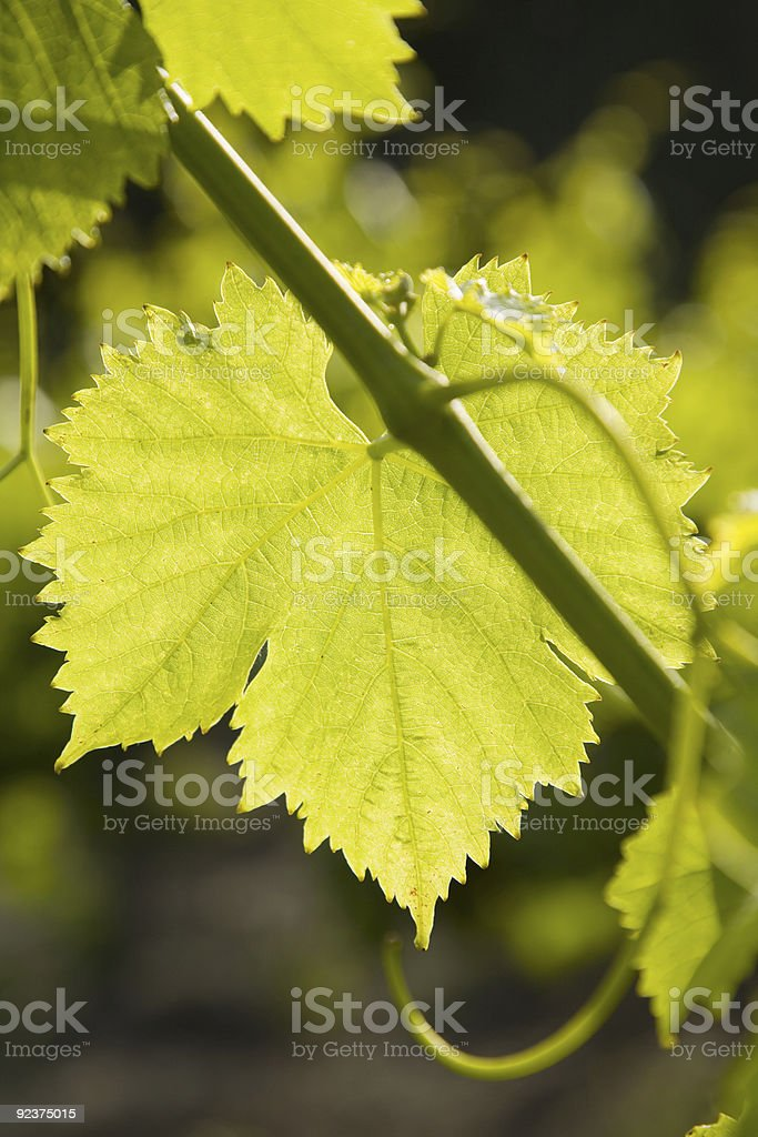 Backlit Grape Leaf royalty-free stock photo