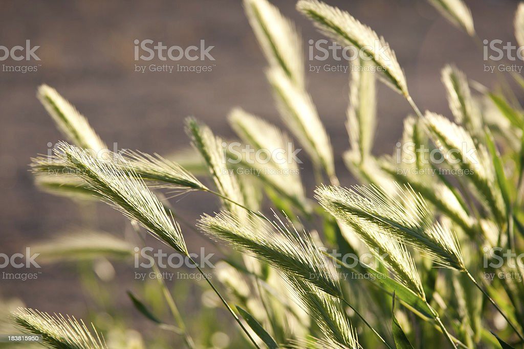 Backlit Grass royalty-free stock photo