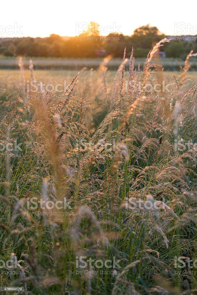 Backlit Grass stock photo