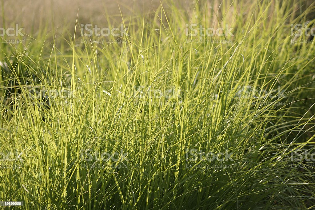 Backlit Green Grass royalty-free stock photo