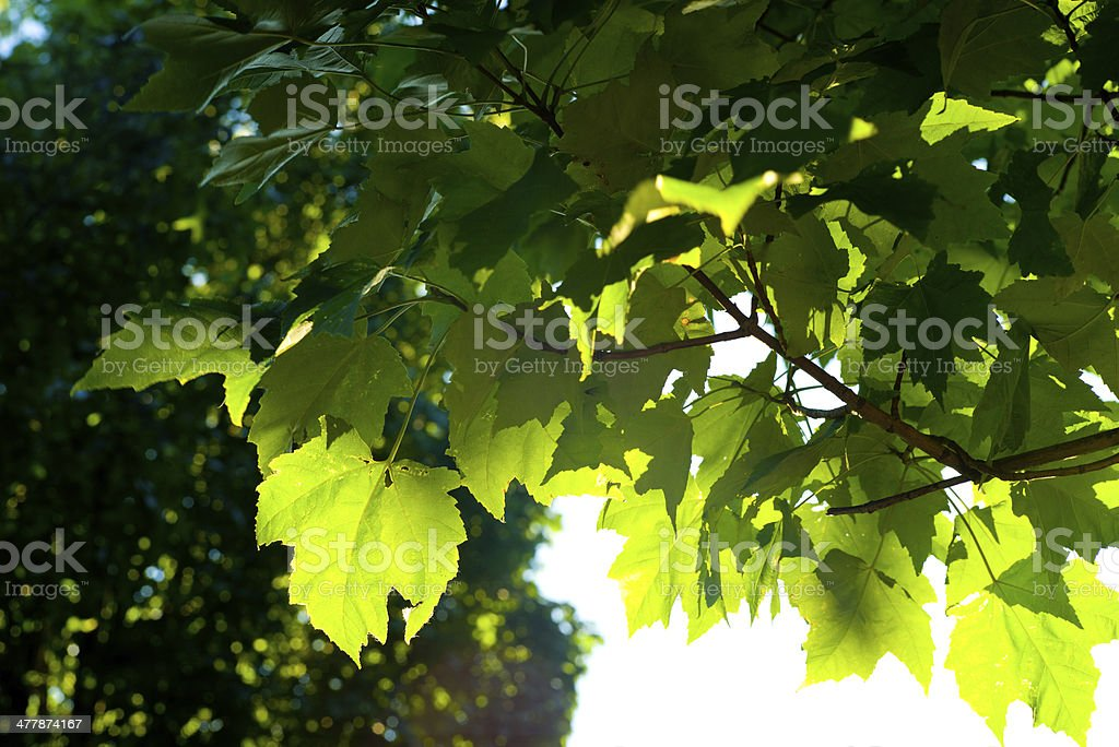 Backlit green leaves in bright sunlight royalty-free stock photo